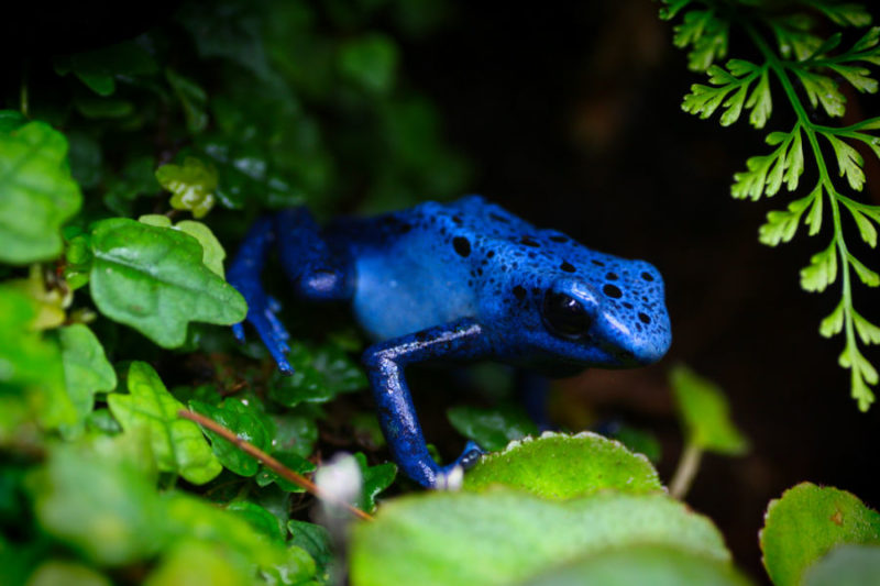 What Do You Feed A Poison Dart Frog
