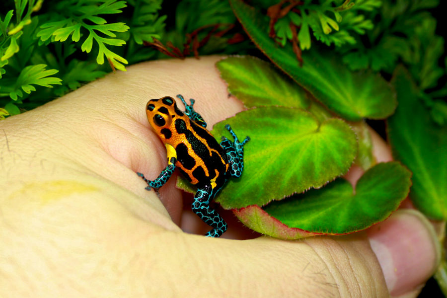 Poison Dart Frogs A Beginners Guide Jungle Jewel Exotics