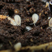 Dwarf White Isopods, Bioactive, Clean Bugs