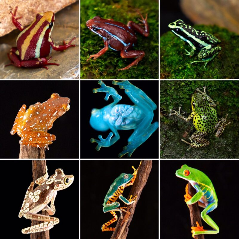 Other Available Frogs